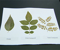 Tree Identification: How To Use a Dichotomous Key thumbnail