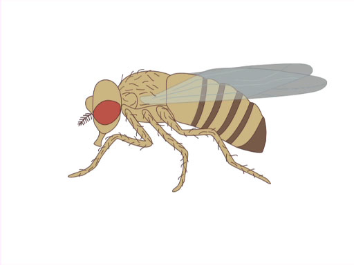 An Introduction to <em>Drosophila melanogaster</em> thumbnail