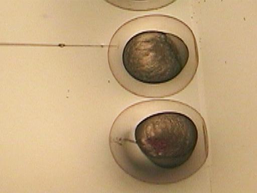 Zebrafish Microinjection Techniques thumbnail