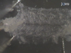 Drosophila larvali NMJ Dissection thumbnail