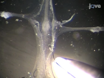 <em>Cancer Borealis</em> Stomatogastric Nervous System Dissection thumbnail