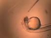 Lens Transplantation in Zebrafish and its Application in the Analysis of Eye Mutants thumbnail