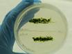 Mating and Tetrad Separation of <em>Chlamydomonas reinhardtii</em> for Genetic Analysis thumbnail