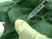 Assay for Pathogen-Associated Molecular Pattern (PAMP)-Triggered Immunity (PTI) in Plants thumbnail