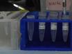遺伝子発現解析のための胚ゼブラフィッシュとcDNA合成からのRNA分離 thumbnail
