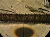 Single Sensillum Recordings in the Insects <em>Drosophila melanogaster</em> and <em>Anopheles gambiae</em> thumbnail