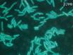 Imaging mismatch repair en cellulaire reacties op DNA-schade in<em> Bacillus subtilis</em thumbnail