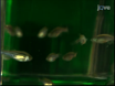 Development of automated imaging and analysis for zebrafish chemical screens.  thumbnail