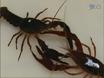 Recording Behavioral Responses to Reflection in Crayfish thumbnail