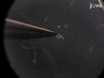 Isolation and Culture of Avian Embryonic Valvular Progenitor Cells thumbnail