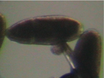 Preparation of Neuronal Cultures from Midgastrula Stage Drosophila Embryos thumbnail