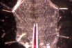 Loading Drosophila Nerve Terminals with Calcium Indicators thumbnail