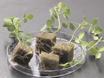 复合植物代<em>苜蓿truncatula</em用于检测结瘤 thumbnail