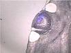 Лазерная Захват микродиссекция ткани млекопитающих thumbnail