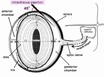 Intravitreous Injection for Establishing Ocular Diseases Model thumbnail