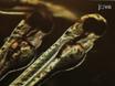 해부 Zebrafish 배아 심장의 Immunostaining thumbnail