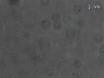 Multiplexado de una sola molécula de mediciones de la Fuerza proteólisis utilizando pinzas magnéticas thumbnail