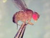 Paired Nanoinjection and Electrophysiology Assay to Screen for Bioactivity of Compounds using the <em>Drosophila melanogaster</em> Giant Fiber System thumbnail