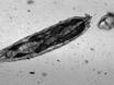 Simple Microfluidic Devices for <em>in vivo</em> Imaging of <em>C. elegans</em>, <em>Drosophila</em> and Zebrafish thumbnail