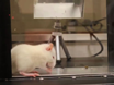 Rapid Determination of the Thermal Nociceptive Threshold in Diabetic Rats thumbnail