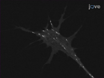 Neural Explant Cultures from <em>Xenopus laevis</em> thumbnail