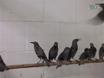 Ressonância Magnética Funcional (fMRI), com estimulação auditiva em aves canoras thumbnail