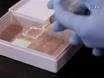3D Nükleer teşkilatında değişiklikler Eğitim için 3D-korunmuş Tane Çekirdekle ilgili Kombine İmmünofloresan ve DNA FISH thumbnail