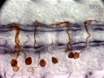 Labeling of Single Cells in the Central Nervous System of <em>Drosophila melanogaster</em> thumbnail