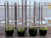 Analysis of Fatty Acid Content and Composition in Microalgae thumbnail