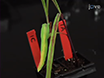 A Rapid and Efficient Method for Assessing Pathogenicity of <em>Ustilago maydis</em> on Maize and Teosinte Lines thumbnail