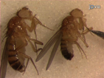 A Single-fly Assay for Foraging Behavior in <em>Drosophila</em> thumbnail