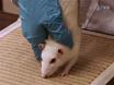 La evaluación de la función Miembro Anterior tras unilateral cervical SCI usando Tareas Novela: Limb Paso alternancia, inestabilidad postural y manipulación Pasta thumbnail