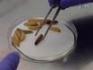 사용<em&gt; 갤러리아 mellonella</em&gt; 모델 생물로 공부하기<em&gt; 레지오넬라 뉴모 필라</em&gt; 감염 thumbnail
