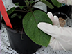 Agroinfiltration and PVX Agroinfection in Potato and <em>Nicotiana benthamiana</em> thumbnail