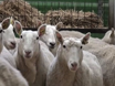 临床考试议定书检测非典型和古典羊瘙痒 thumbnail
