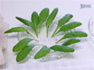 Collection and Analysis of <em>Arabidopsis</em> Phloem Exudates Using the EDTA-facilitated Method thumbnail