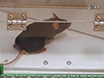 跟踪恐惧条件小鼠 thumbnail