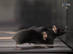 Assessing Functional Performance in the <em>Mdx</em> Mouse Model thumbnail