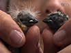 Who is Who? Non-invasive Methods to Individually Sex and Mark Altricial Chicks thumbnail