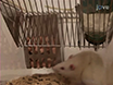 Fat Preference: A Novel Model of Eating Behavior in Rats thumbnail