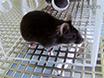 マウスにおける神経因性疼痛の坐骨神経細胞浸潤モデル thumbnail