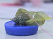 Effect of Male Accessory Gland Products on Egg Laying in Gastropod Molluscs thumbnail