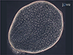 <em>Ex vivo</em> Culture of <em>Drosophila</em> Pupal Testis and Single Male Germ-line Cysts: Dissection, Imaging, and Pharmacological Treatment thumbnail