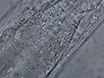 Methods for Skin Wounding and Assays for Wound Responses in <em>C. elegans</em> thumbnail