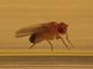 Oppkjøp av høykvalitets digital video av<em&gt; Drosophila</em&gt; Larve og Voksen oppførsel fra en Lateral Perspektiv thumbnail