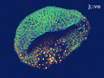 Expression of Fluorescent Proteins in <em>Branchiostoma lanceolatum</em> by mRNA Injection into Unfertilized Oocytes thumbnail