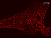 Mouse Pneumonectomy Model of Compensatory Lung Growth thumbnail