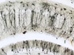 Assessment of Dendritic Arborization in the Dentate Gyrus of the Hippocampal Region in Mice thumbnail