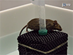 Morris Water Maze Test: Optimization for Mouse Strain and Testing Environment thumbnail