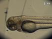 Imagen no invasiva de la respuesta inmune innata en un modelo de larvas de pez cebra de<em&gt; Streptococcus iniae</em&gt; Infección thumbnail
